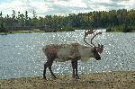 Caribou_in_Front_of_Lake