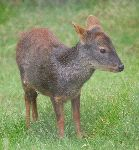 Chilean_Pudu_The_Smallest_Deer