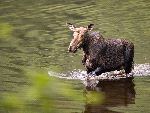 Female_Moose_Crossing_a_River