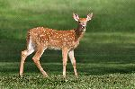 White_Tailed_Deer_Fawn